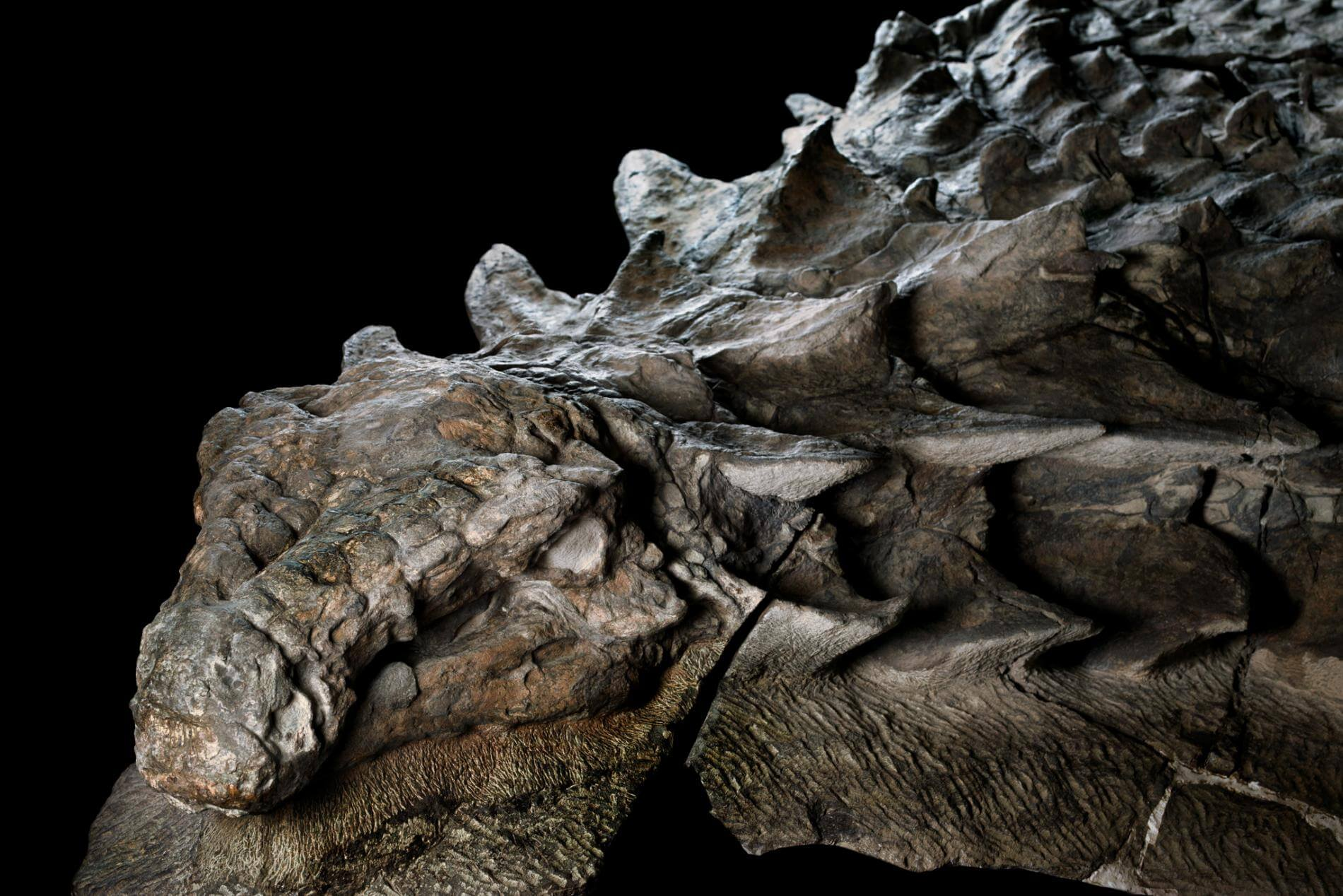 Best Dinosaur Fossil Ever Found Canada