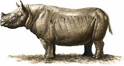 Rhino Teleoceras Major
