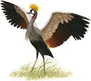 Crowned Crane Balearica