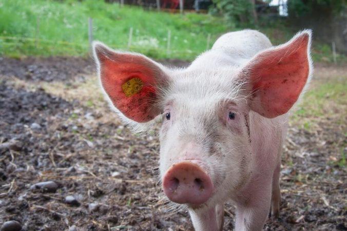 Can We Eat Pork?
